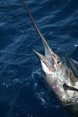 Marlin Up Close