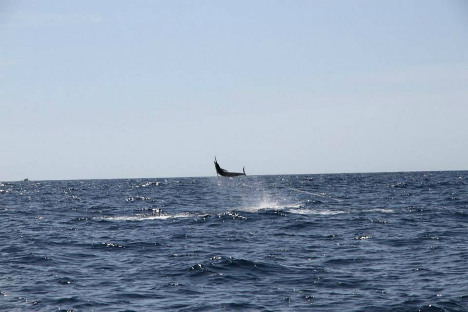 Massive marlin!
