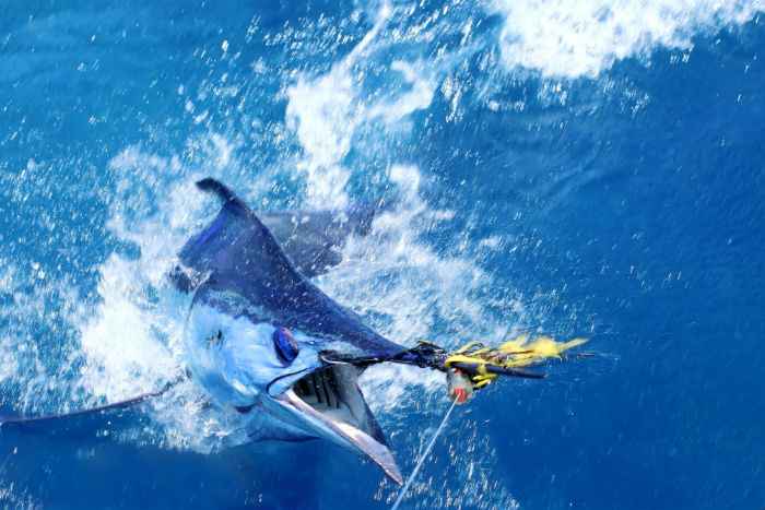 Beautiful blue marlin off Exmouth