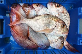 Lots of snapper
