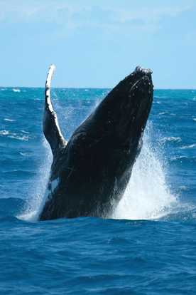 Awesome shot of a humpback whale near Perth