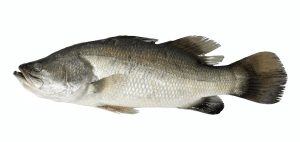 A Barramundi fish typically foud further off the coast of Western Australia.