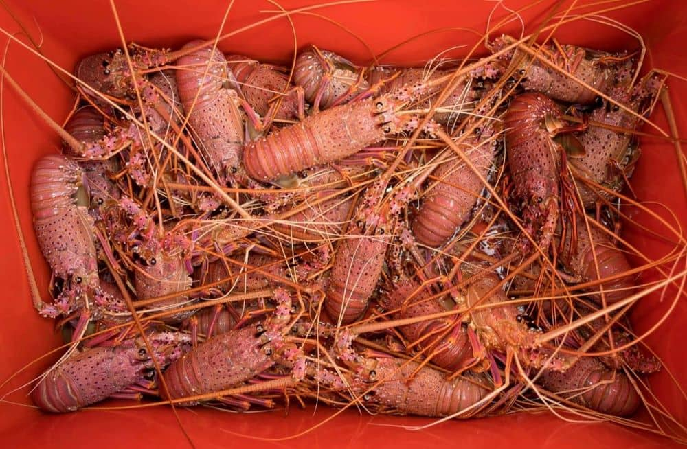 Freshly caught crayfish in container.