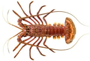 Western rock lobster in white background.